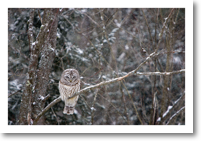Barred Owl, Brunswick, ME (2008)